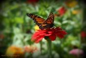 Butterfly Flower Soft Focus