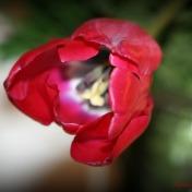 Tulip Soften